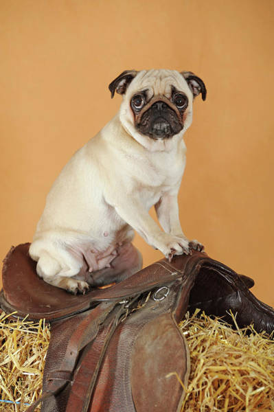 Wall Art - Photograph - Pug Beige Bitch Sitting In The Saddle Studio Shot Austria by imageBROKER - Anni Sommer