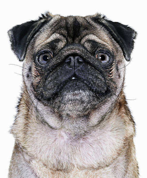 Pug Photograph - Pug Dog, Close-up by Gandee Vasan