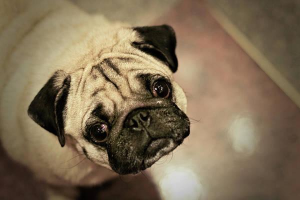 Lap Dog Photograph - Pug Dog by Grumpymonkee
