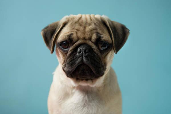 Lap Dog Photograph - Pug Puppy Against Blue Background by Reggie Casagrande