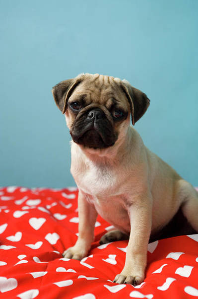 Lap Dog Photograph - Pug Puppy Sitting On Bed by Reggie Casagrande