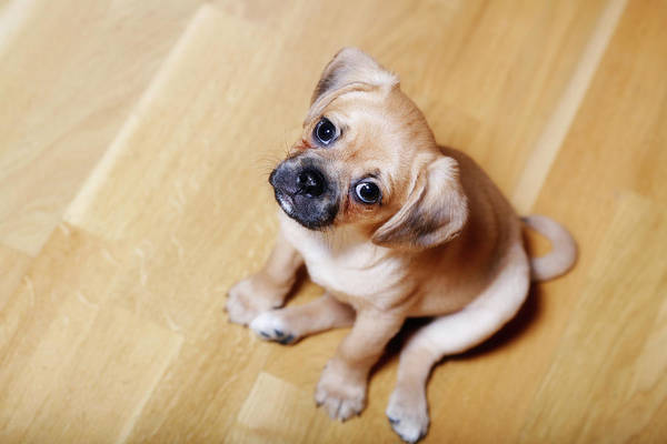 Wall Art - Photograph - Pugalier Puppy Sitting Down by Juliet White