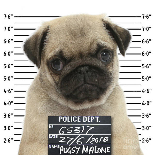 Photograph - Pugshot by Warren Photographic
