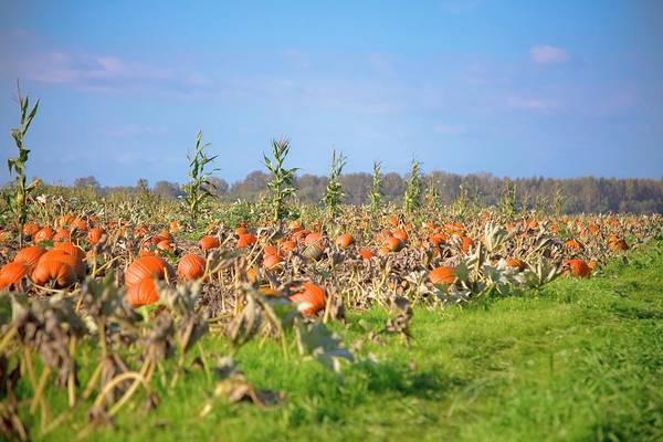 Vegetable Patch Wall Art - Photograph - Pumpkin Field by Design Pics / Blake Kent