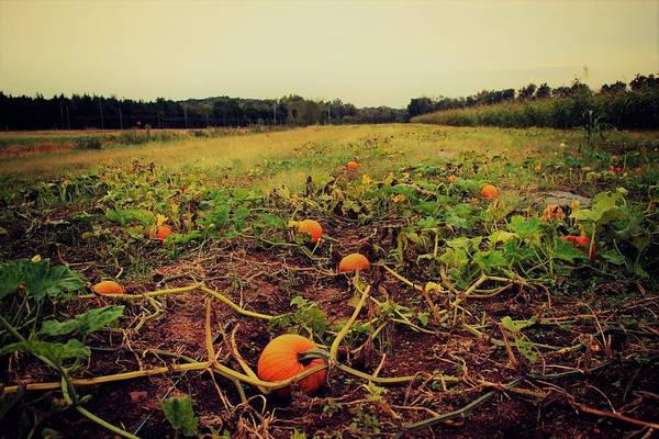 Photograph - Pumpkin Picking by Candice Trimble