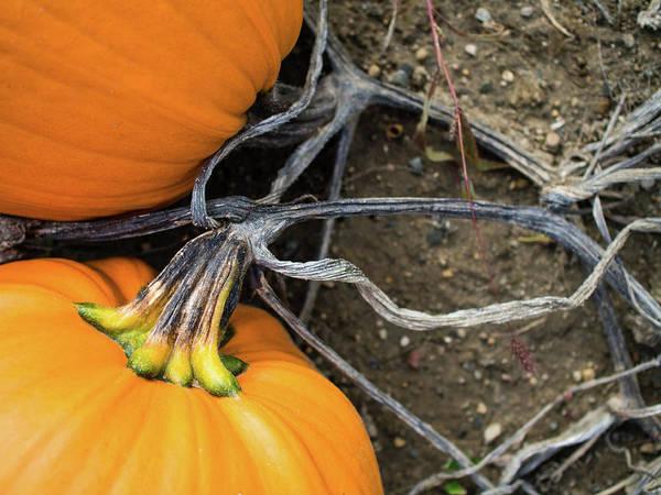 Pumpkins Entwined Together Art Print