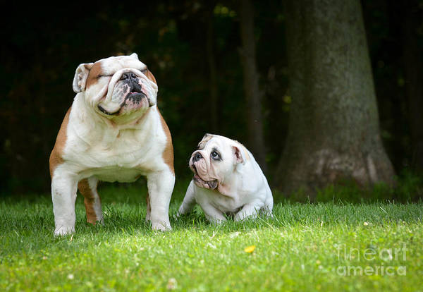 Purebred Wall Art - Photograph - Puppy And Adult Dog Playing Outside - by Willeecole Photography