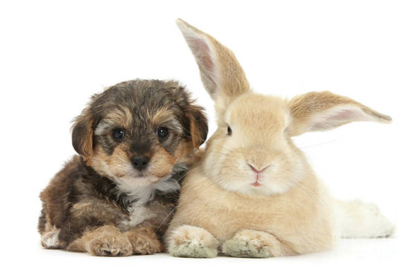 Photograph - Puppy And Bunny Resting by Warren Photographic