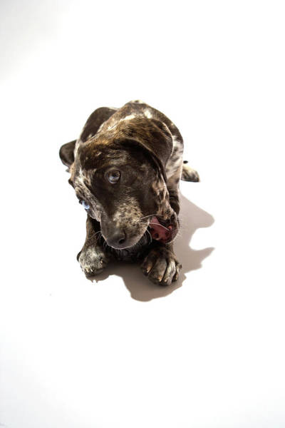 Emotion Photograph - Puppy Catahoula Leopard Dog by Virginia Macdonald Photographer In