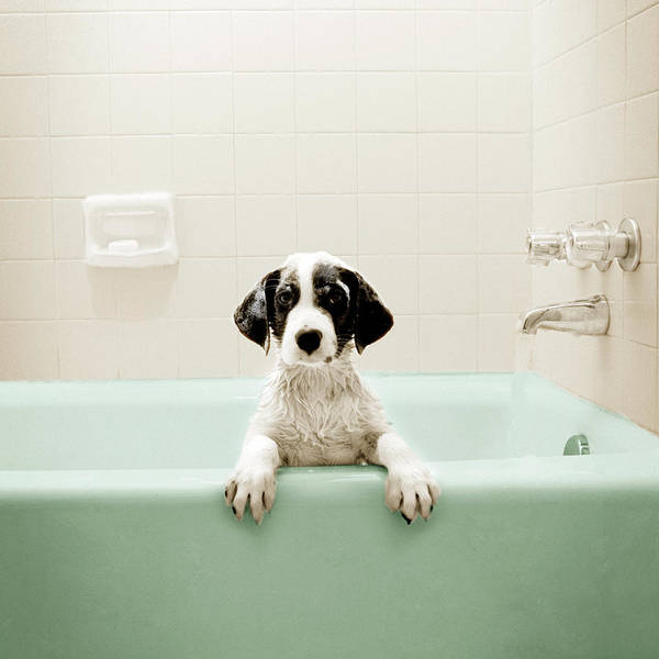 Pet Care Photograph - Puppy In Bathtub by Stevecoleimages