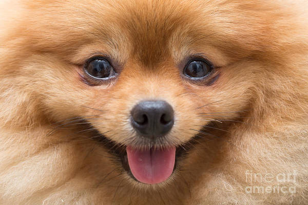 Fluffy Wall Art - Photograph - Puppy Pomeranian Dog Cute Pets In Home by Suti Stock Photo