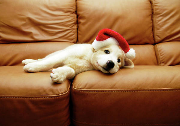 Dogs Photograph - Puppy Wears A Christmas Hat, Lounges On by Karina Santos