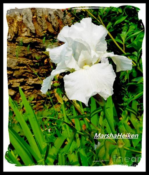Wall Art - Photograph - Pure White Iris by Marsha Heiken