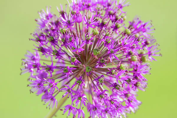 Photograph - Purple Allium Flower by Scott Lyons