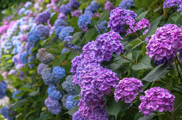 Photograph - Purple And Blue Hydrangea Blooms by Jenny Rainbow