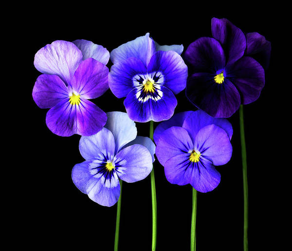 Wall Art - Photograph - Purple  And Blue Pansies, Close-up by Photograph By Magda Indigo