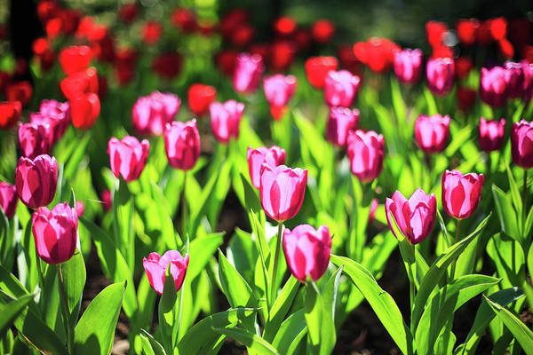 Beauty In Nature Photograph - Purple And Red Tulips Under Sun Light by Samyaoo