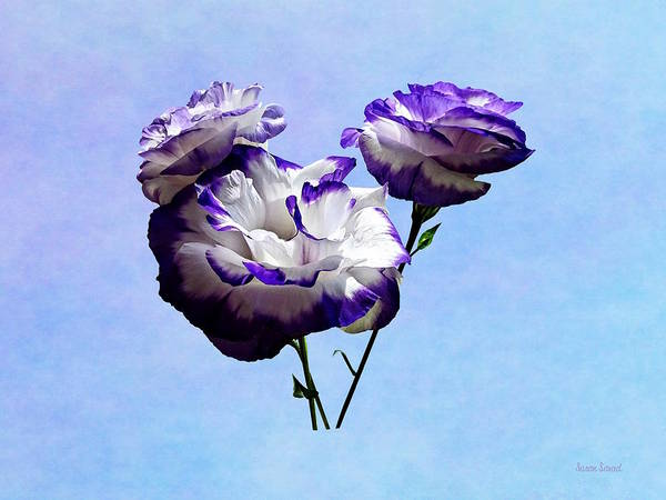 Photograph - Purple And White Lisianthus by Susan Savad