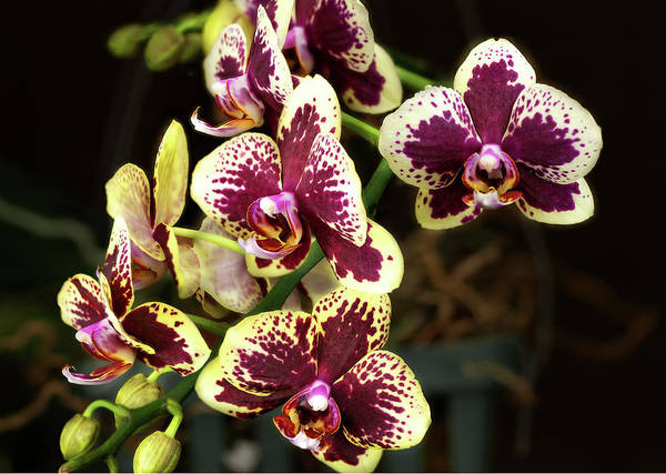 Photograph - Purple And Yellow Orchid-3 by Rudy Umans
