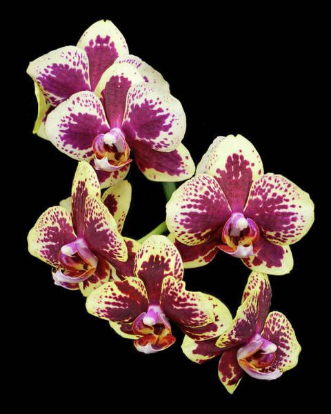 Photograph - Purple And Yellow Orchid-4 by Rudy Umans