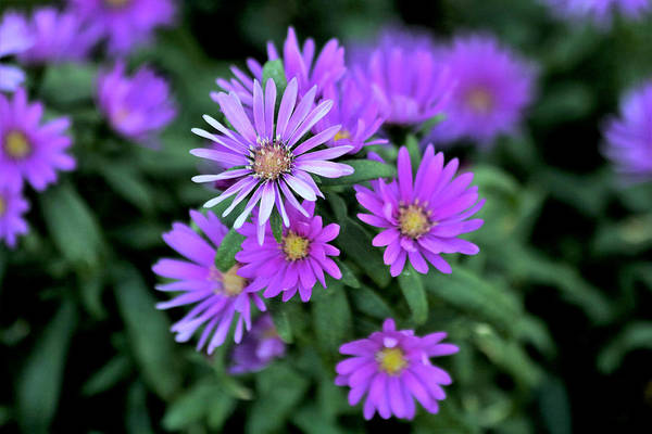 Photograph - Purple Asters by Sheila Brown