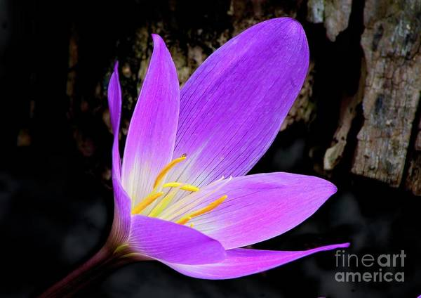 Photograph - Purple Autumn Crocus Colchicum Autumnale by Martyn Arnold