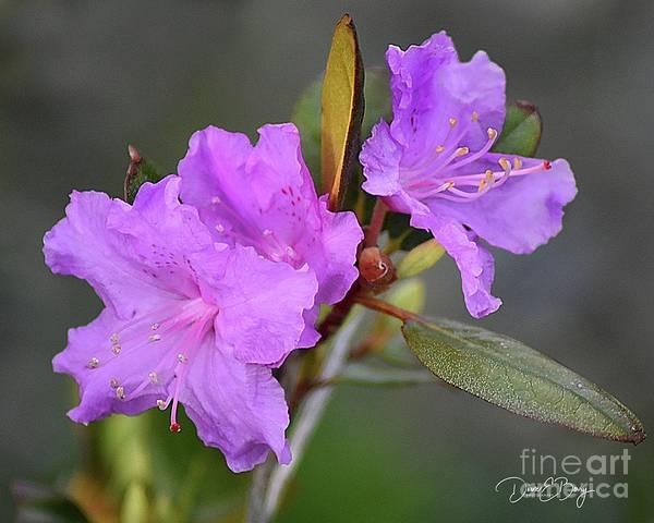 Wall Art - Photograph - Purple Azalea  by Diane E Berry