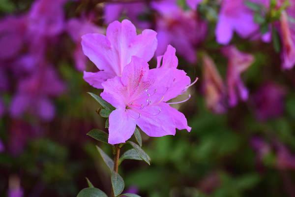 Photograph - Purple Azaleas In Bloom by Nicole Lloyd