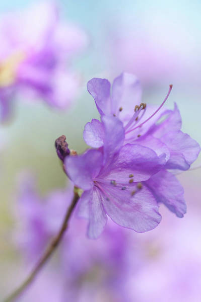 Photograph - Purple Bloom Of Rhododendron Dauricum 1 by Jenny Rainbow