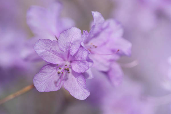 Photograph - Purple Bloom Of Rhododendron Dauricum 10 by Jenny Rainbow