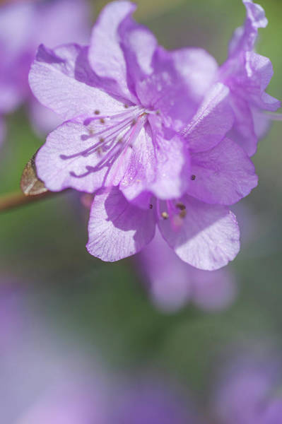Photograph - Purple Bloom Of Rhododendron Dauricum 3 by Jenny Rainbow