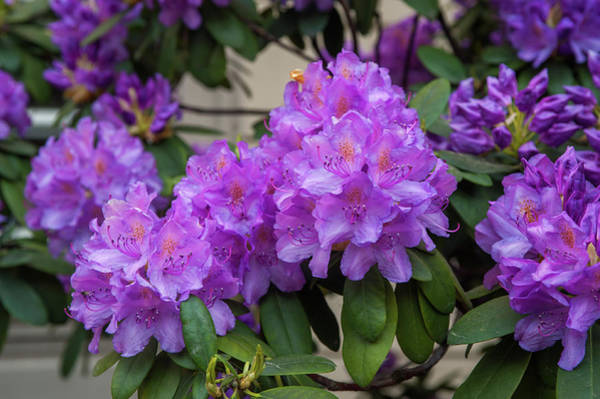 Photograph - Purple Bloom Of Rhododendrons 1 by Jenny Rainbow