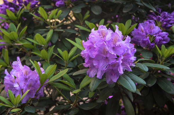 Photograph - Purple Bloom Of Rhododendrons by Jenny Rainbow