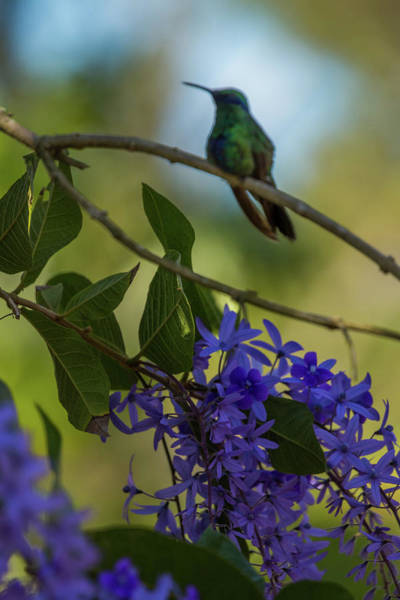 Photograph - Purple Blossoms And Hummingbird by Dorothy Cunningham