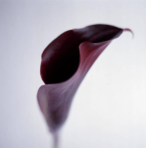 Calla Photograph - Purple Calla Lily by Jeanene Scott