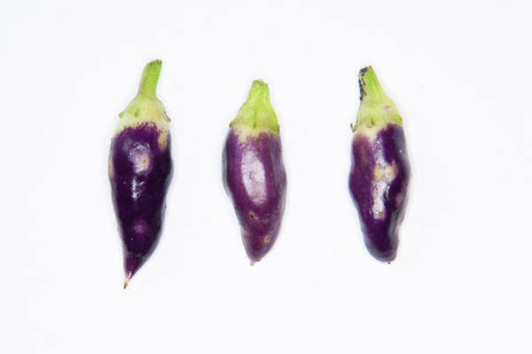 Photograph - Purple Chillies by Helen Northcott