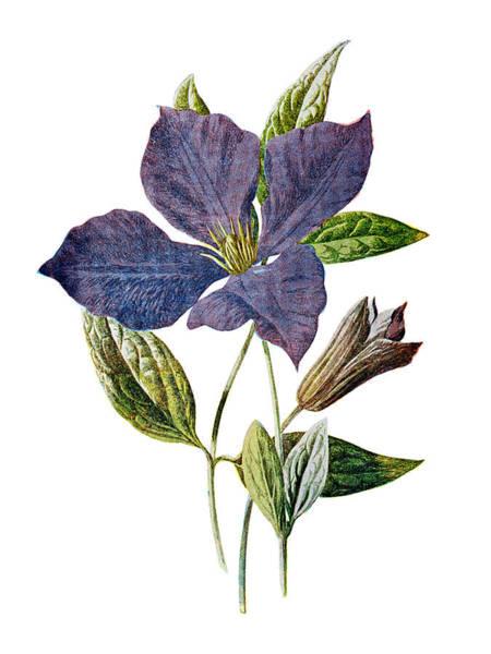 Mixed Media - Purple Clematis Flower by Naxart Studio