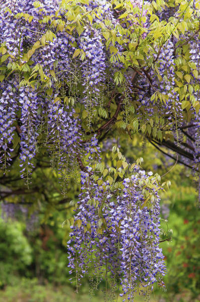 Photograph - Purple Clusters Of Wisteria Floribunda Lavender Lace 1 by Jenny Rainbow