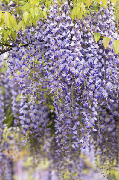 Photograph - Purple Clusters Of Wisteria Floribunda Lavender Lace 2 by Jenny Rainbow