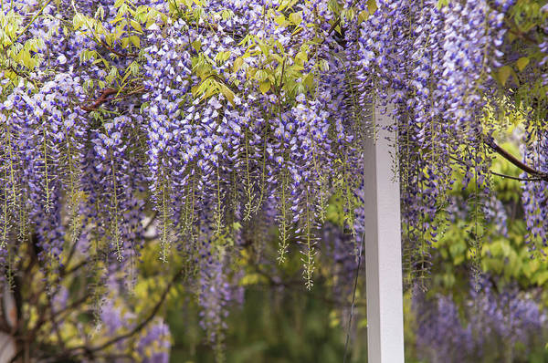 Photograph - Purple Clusters Of Wisteria Floribunda Lavender Lace by Jenny Rainbow