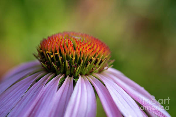 Wall Art - Photograph - Purple Coneflower 02 by KG Photography