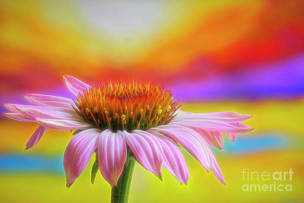 Wall Art - Photograph - Purple Coneflower by Veikko Suikkanen