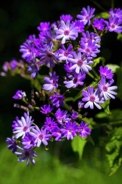 Photograph - Purple Daisies In Spring by Bonnie Follett