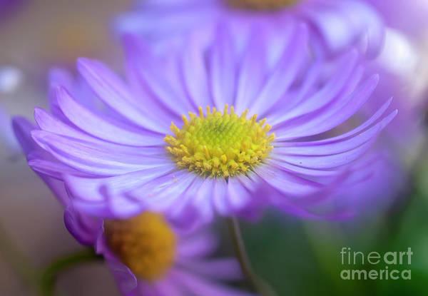 Osteospermum Hybrid Photograph - Purple Daisy Osteospermum G2 by Ilan Rosen