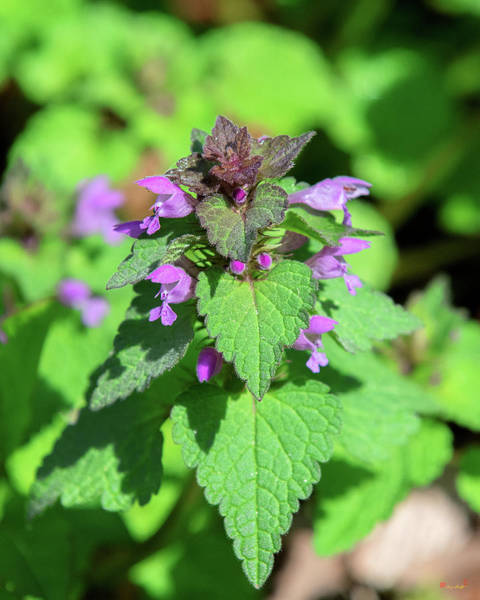 Photograph - Purple Dead-nettle Or Red Dead-nettle Dfl0960 by Gerry Gantt