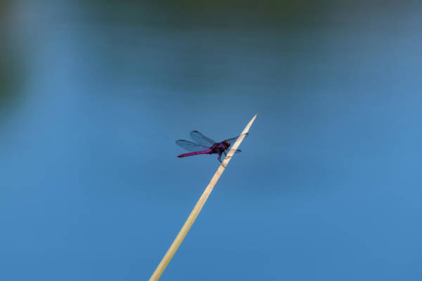 Photograph - Purple Dragonfly by Douglas Killourie