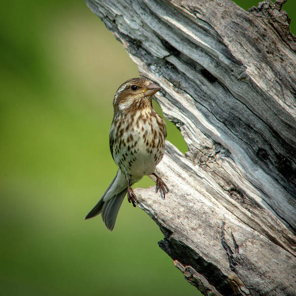 Photograph - Purple Finch 1 by David Heilman