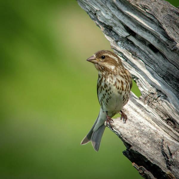 Photograph - Purple Finch 2 by David Heilman