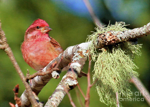 Photograph - Purple Finch by Debbie Stahre