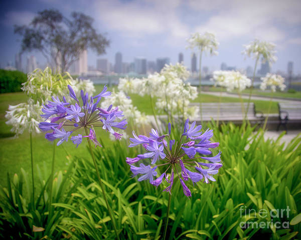 Photograph - Purple Flowers In San Diego by Ken Johnson